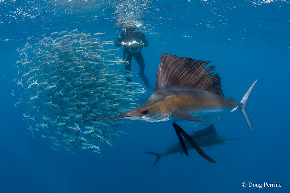 Photographing sailfish off of Isla Mujeres, Mexico